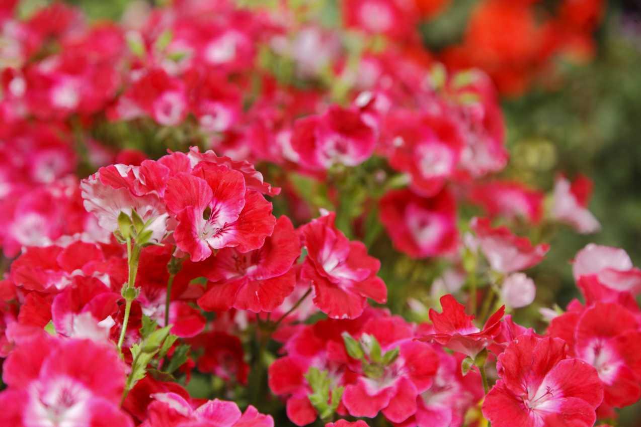 Szaporítóanyag és fajtabemutató és a Fleuroselect