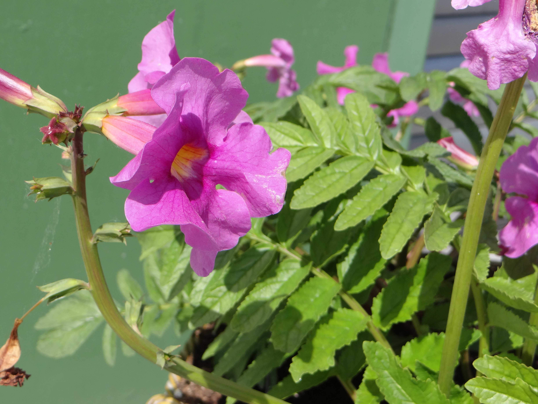 Flora Hungaria fajtaújdonságok 2017