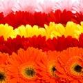 flora-gerbera-talca-vagott.jpg