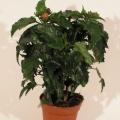 flora_cserepes_hibiscus_viragpiac.jpg