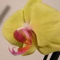 flora_cserepes_phalaenopsis_eladas.jpg