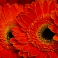 flora_gerbera_vagott_nagybani.jpg