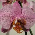 flora_phalaenopsis_import_szigetszentmiklos.jpg