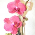 flora_phalaenopsis_termesztes_viragpiac.jpg