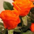 flora_rozsa_vagott_eladas.jpg
