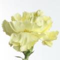 flora_szegfu_vagott_ertekesites.jpg