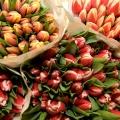 flora_tulipan_imprort_termesztes.jpg