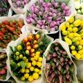 flora_tulipan_nagybani_import.jpg