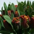 flora_tulipan_viragpiac_vasarlas.jpg